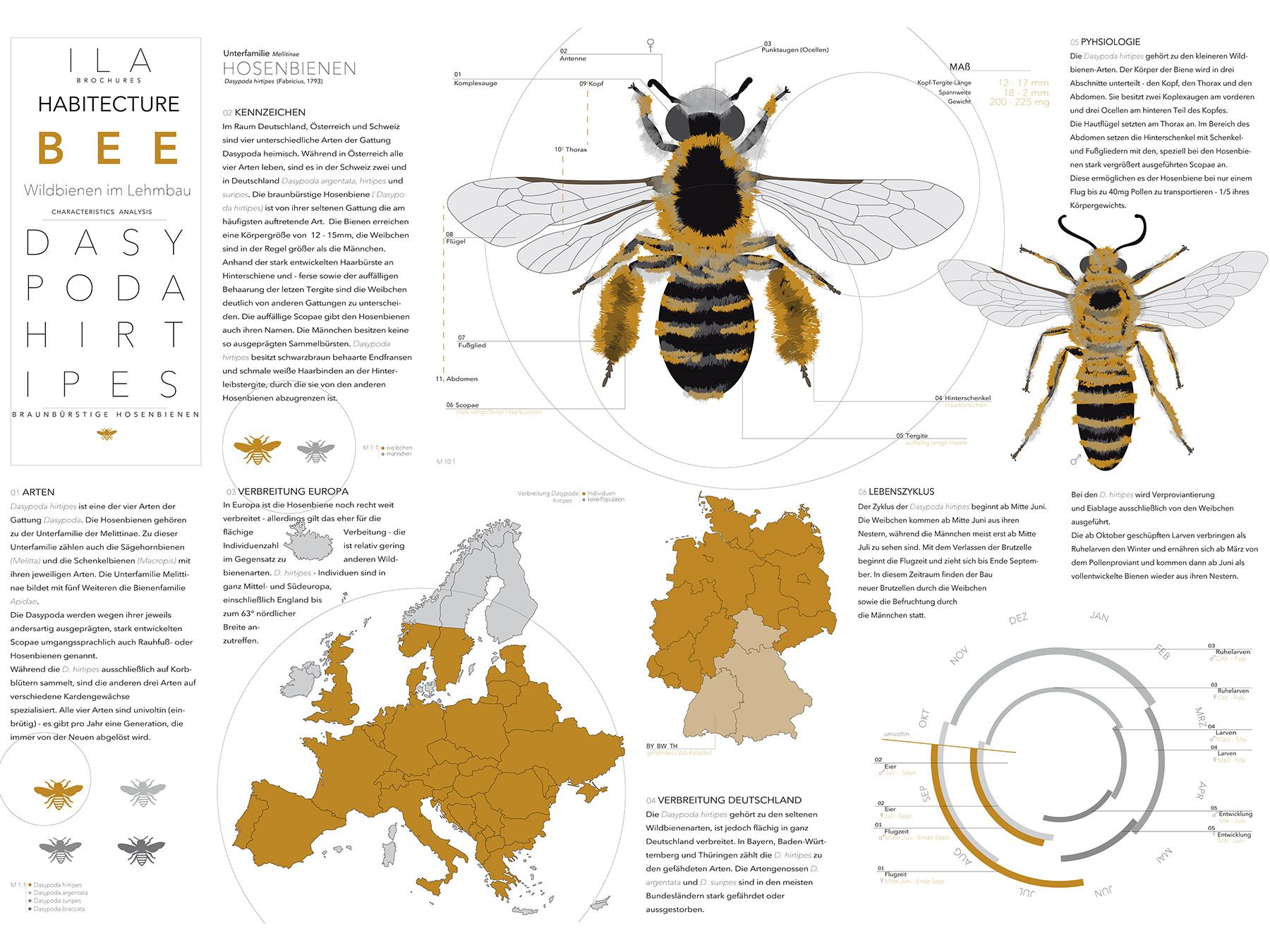 Analysen Wildbienen im Lehmbau I Braunbürstige Hosenbiene Dasypoda hirtipes I Zeichnung Louisa Strehlau - 01