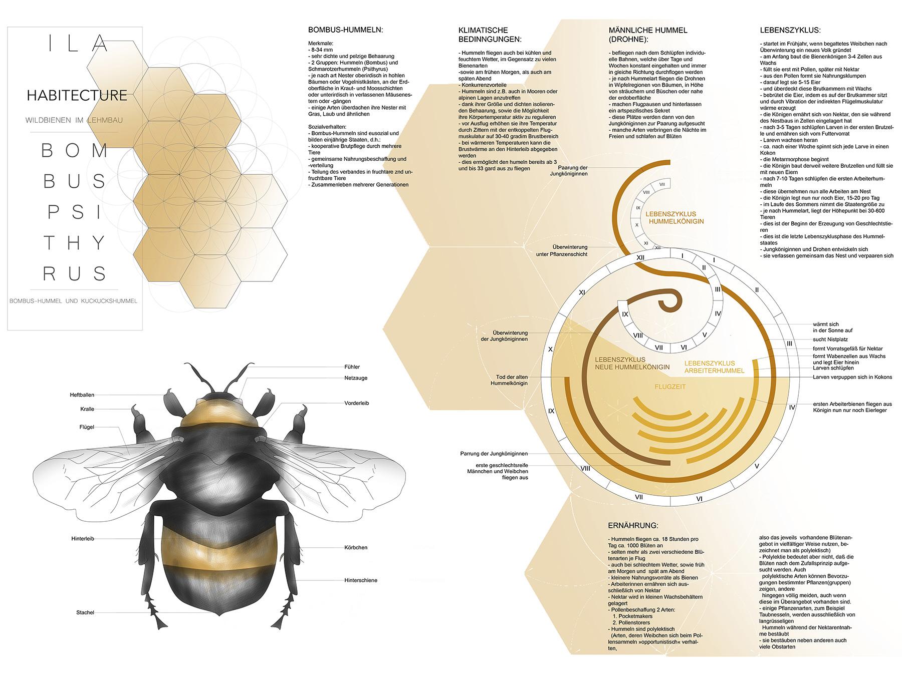 Analysen Wildbienen im Lehmbau I Kuckuckshummel Bombus Psithyrus I Zeichnung Valerie Woithe - 01