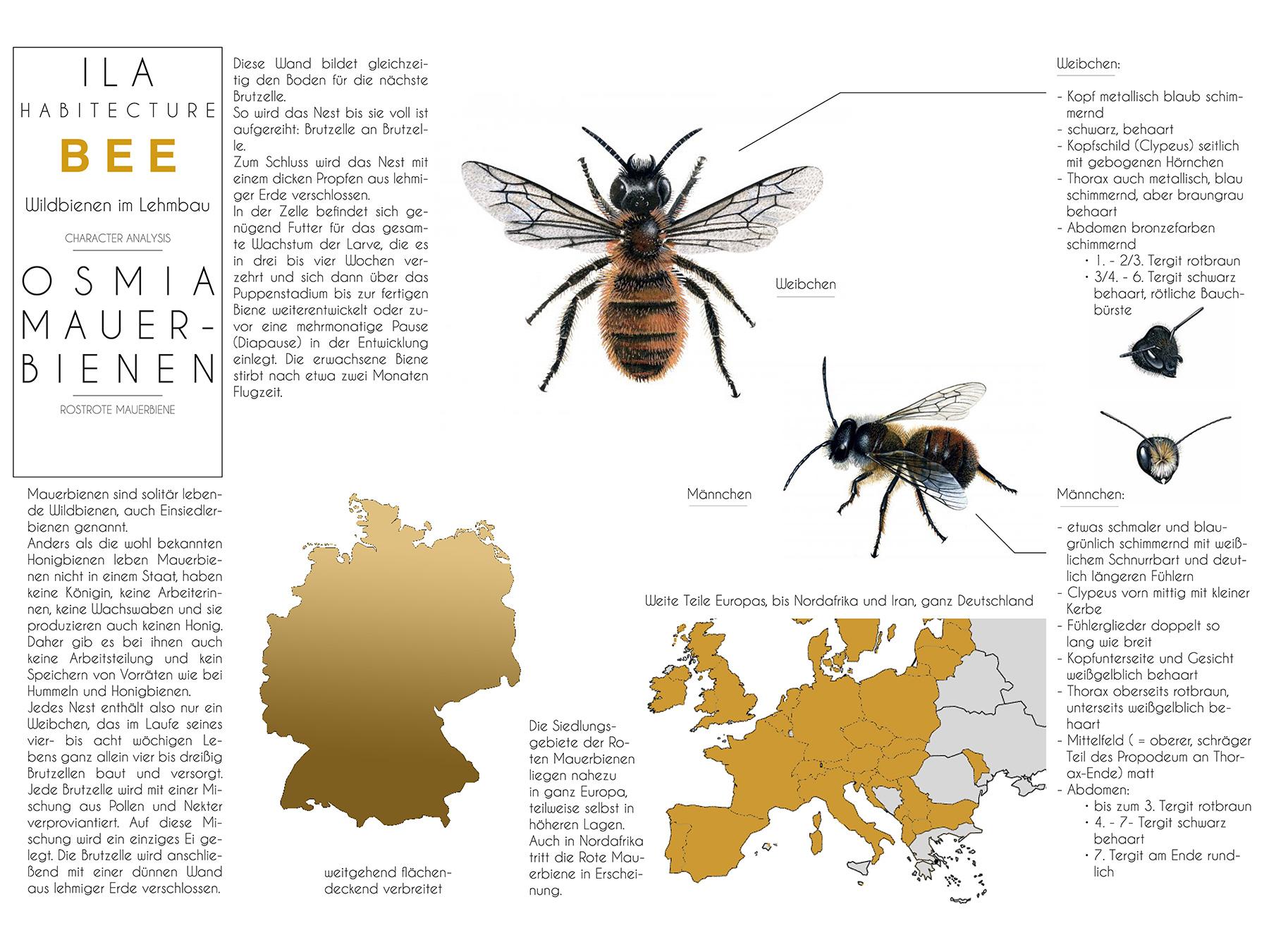 Analysen Wildbienen im Lehmbau I Rostrote Mauerbiene Osmia bicornis I Zeichnung Michaela Trautwein - 01