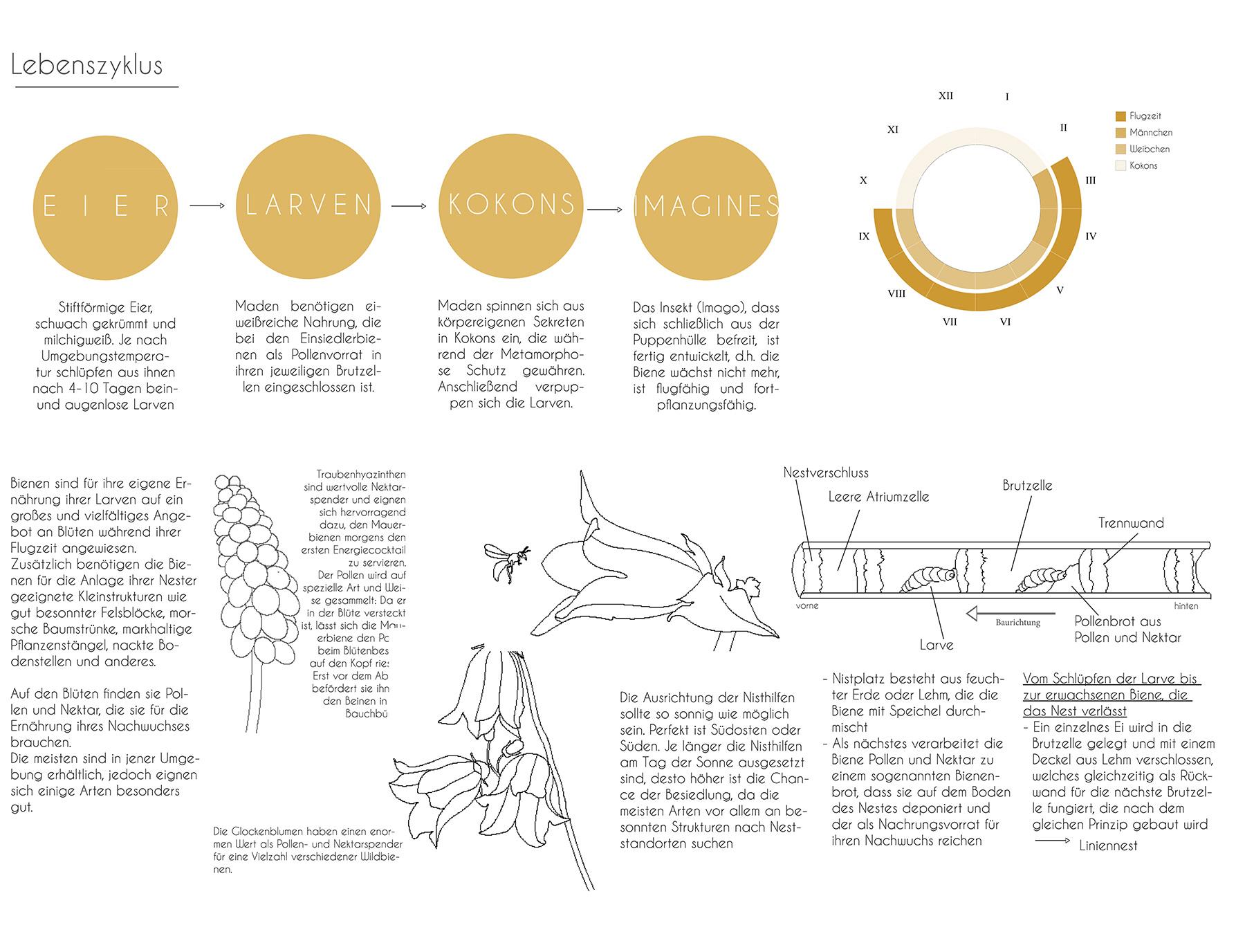Analysen Wildbienen im Lehmbau I Rostrote Mauerbiene Osmia bicornis I Zeichnung Michaela Trautwein - 02