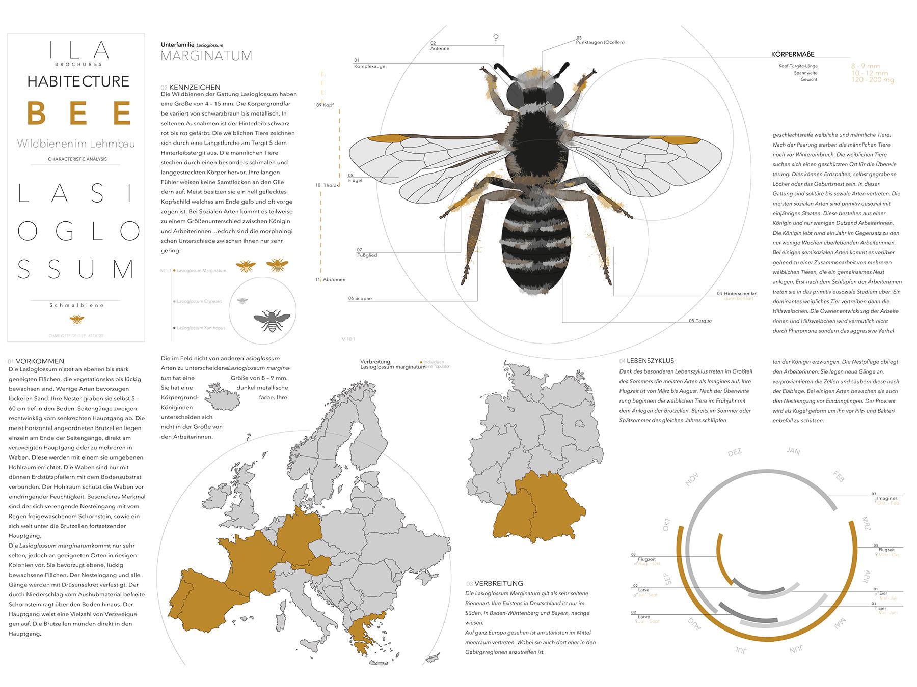 Analysen Wildbienen im Lehmbau I Schmalbiene Lasioglossum I Zeichnung Charlotte Delille - 01