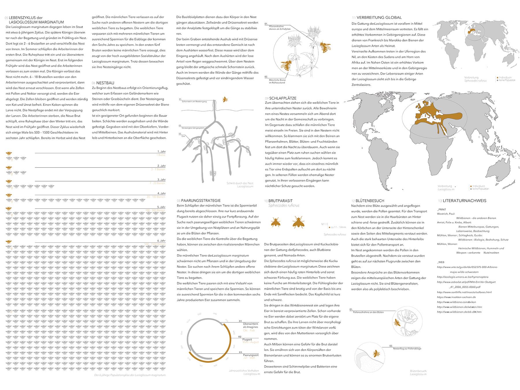 Analysen Wildbienen im Lehmbau I Schmalbiene Lasioglossum I Zeichnung Charlotte Delille - 02